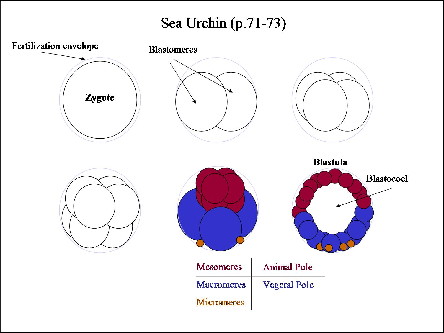 104 spring 2006 sea urchin embryology diagram microlecithal pooptronica Image collections